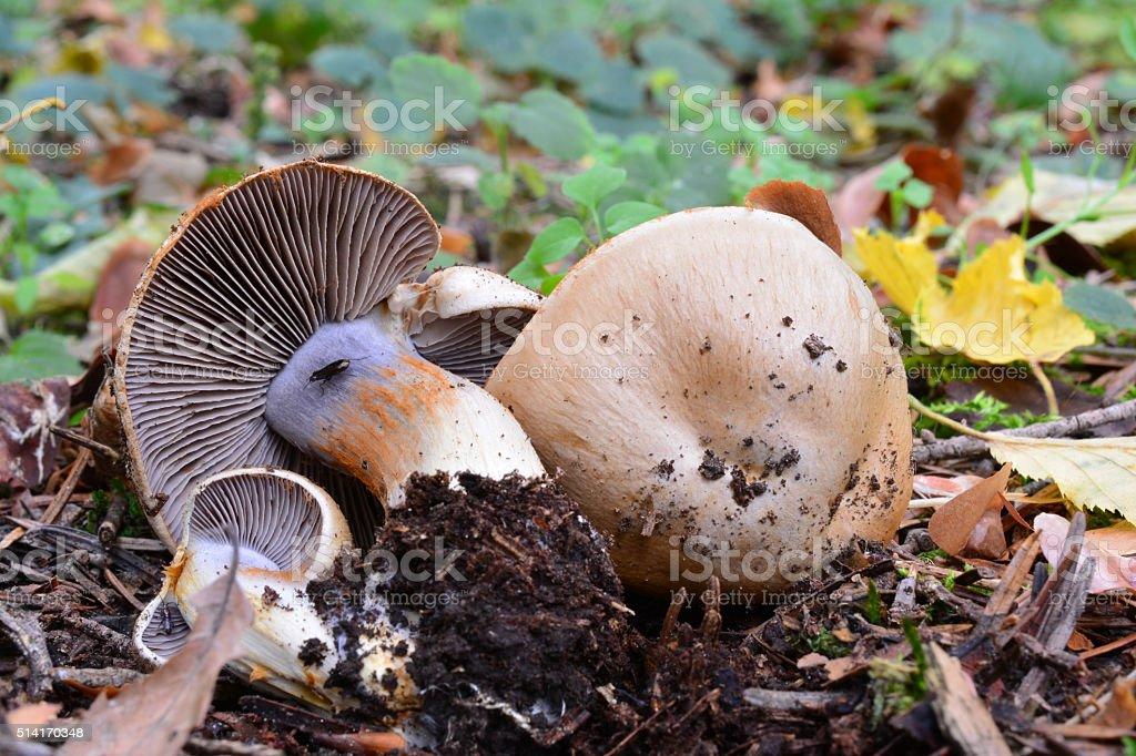 Cortinarius spilomeus mushroom stock photo