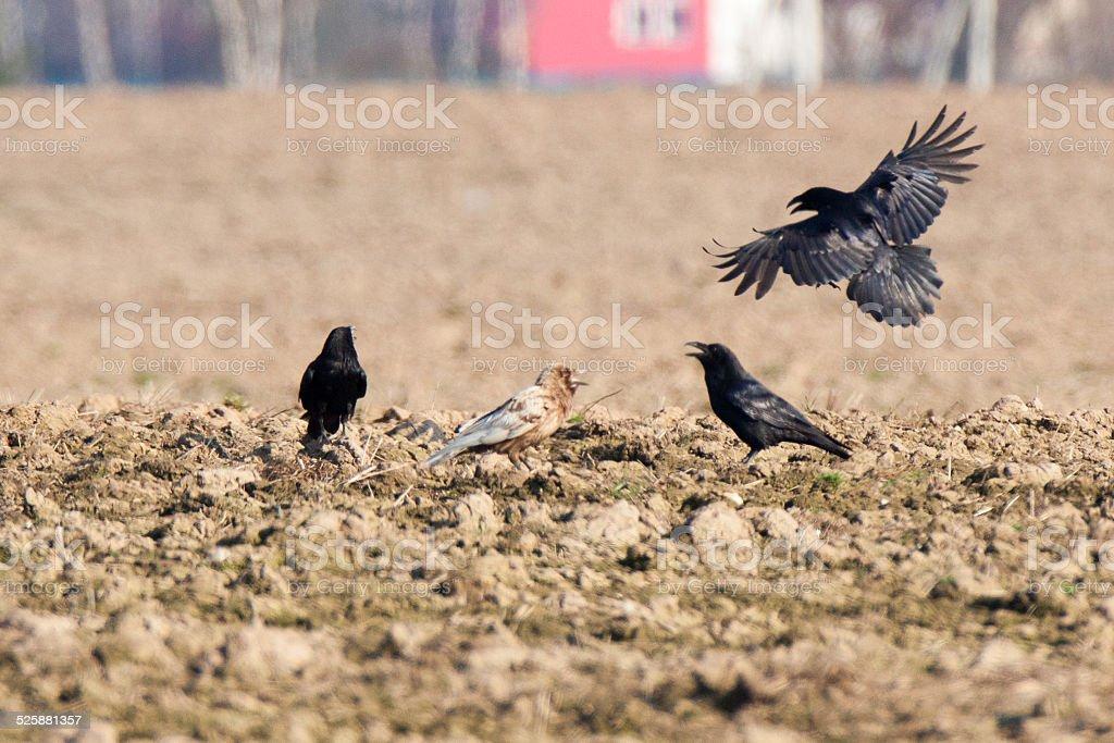 Corvus corax, Common Raven stock photo