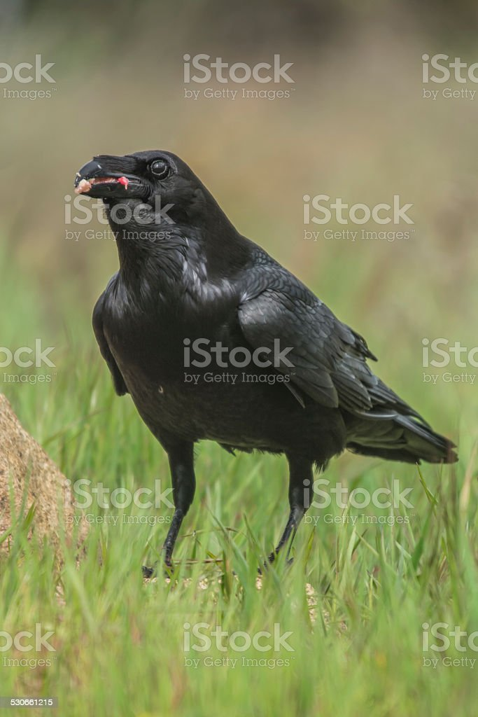 corvus corax stock photo