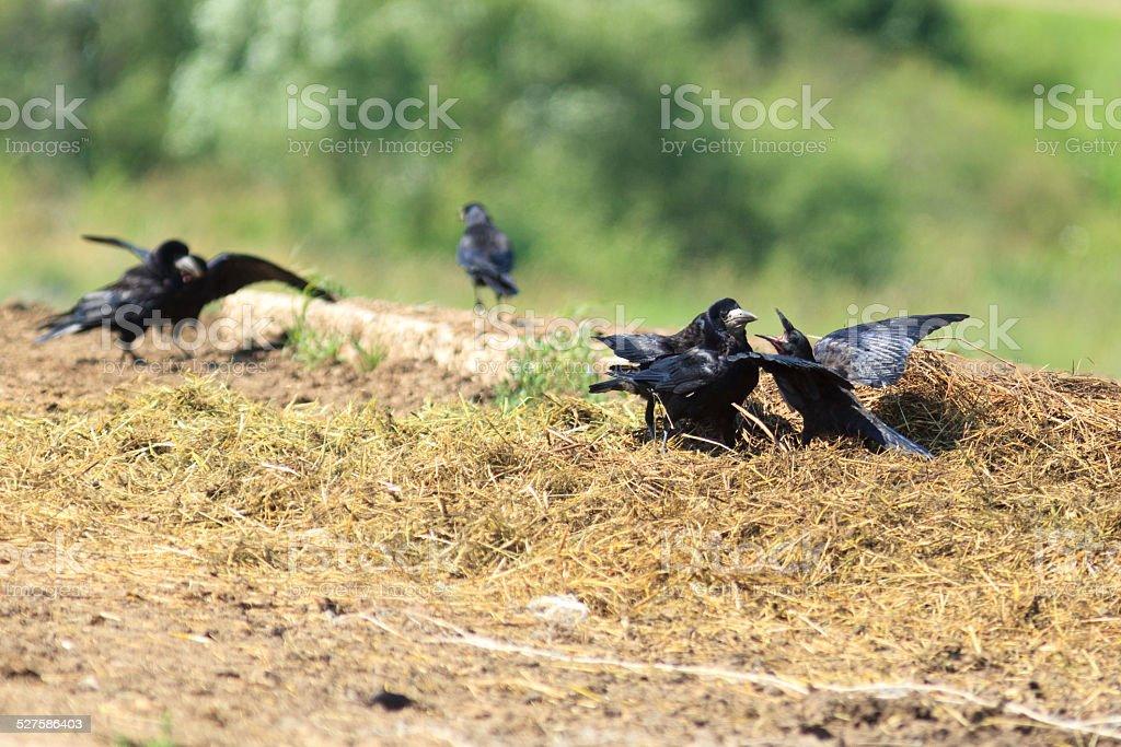 Corvus frugilegus, Rook. stock photo