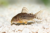 Cory Catfish Corydoras sterbai  Sterba's Cory aquarium fish