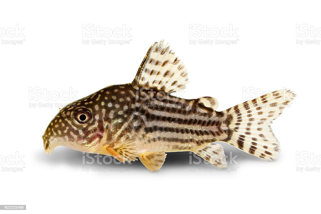 Cory Catfish Corydoras sterbai Sterba's Cory aquarium fish stock photo