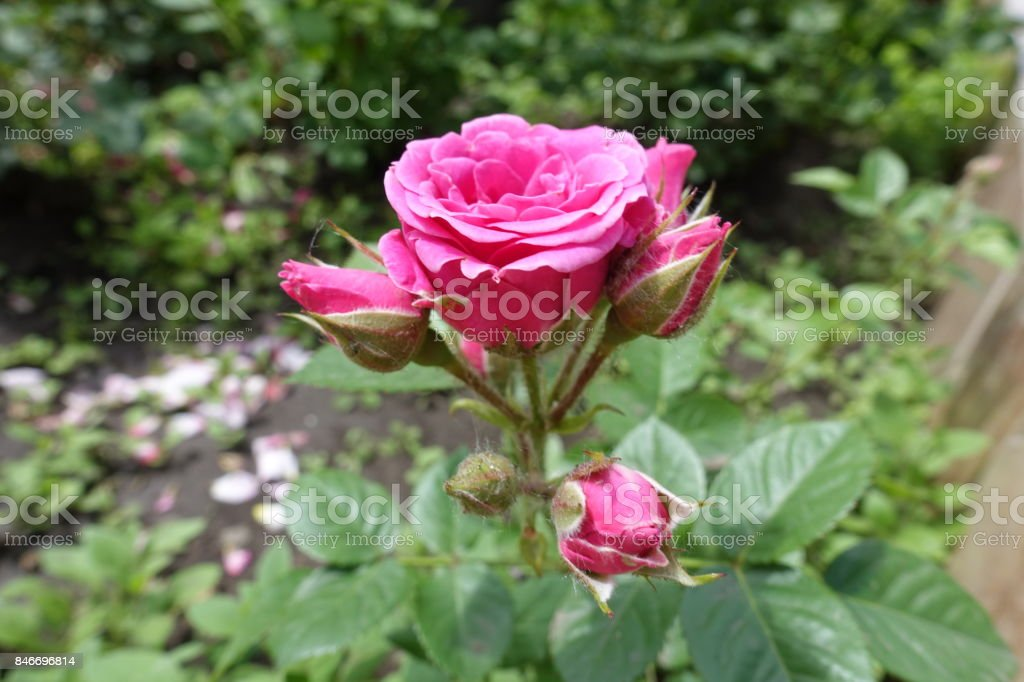 Corymb of pink rose flowers and buds stock photo
