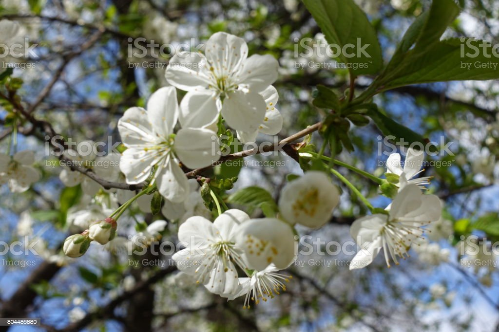 Corymb of white cherry flowers in spring stock photo