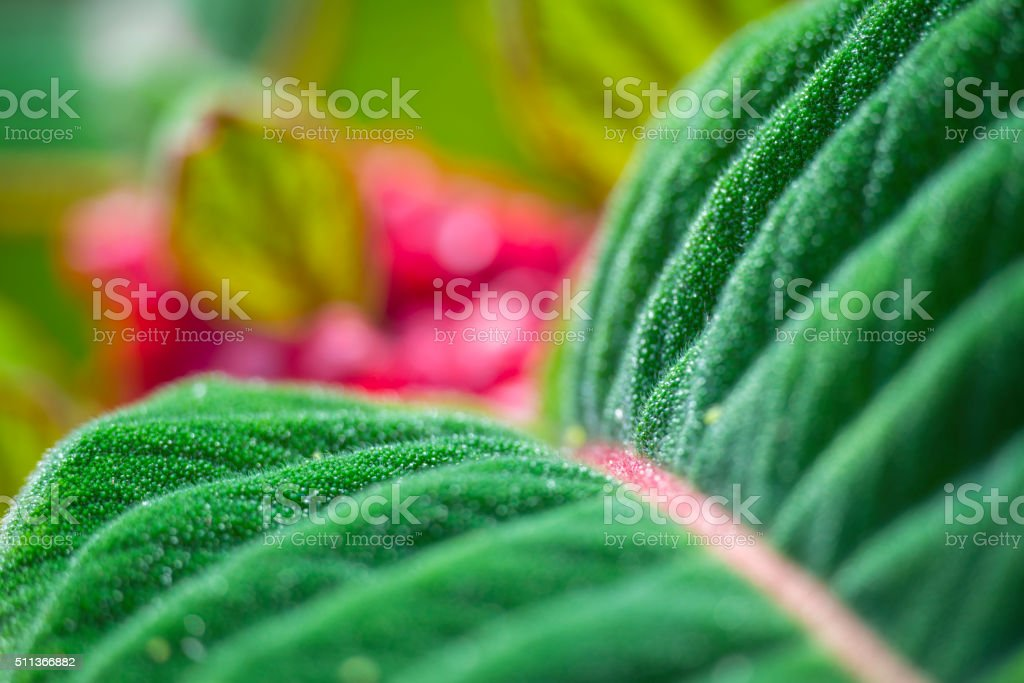 Corytoplectus capitatus leaf and flower stock photo