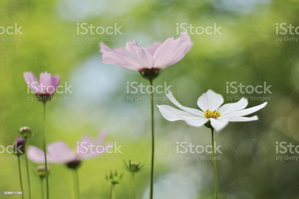 Cosmo flowers pink and white stock photo 508911285 istock cosmo flowers pink and white royalty free stock photo mightylinksfo