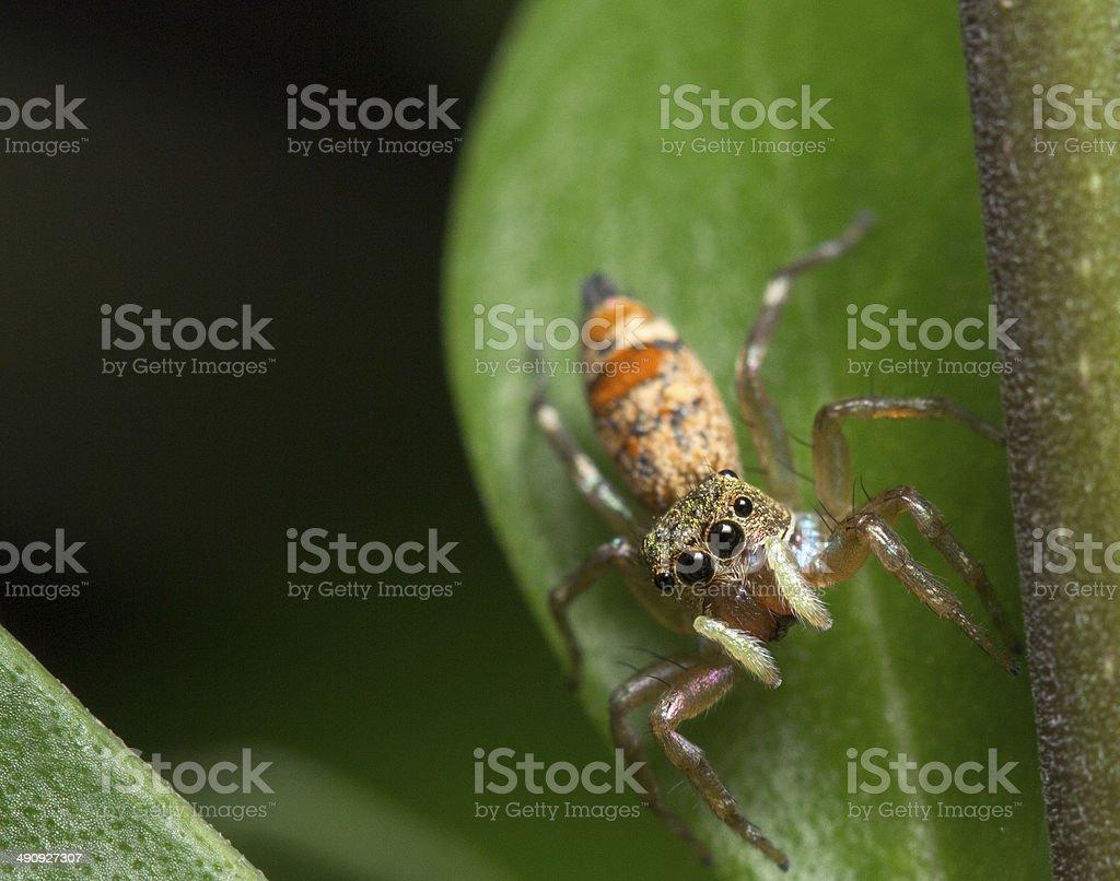 Cosmophasis umbratica Spider stock photo