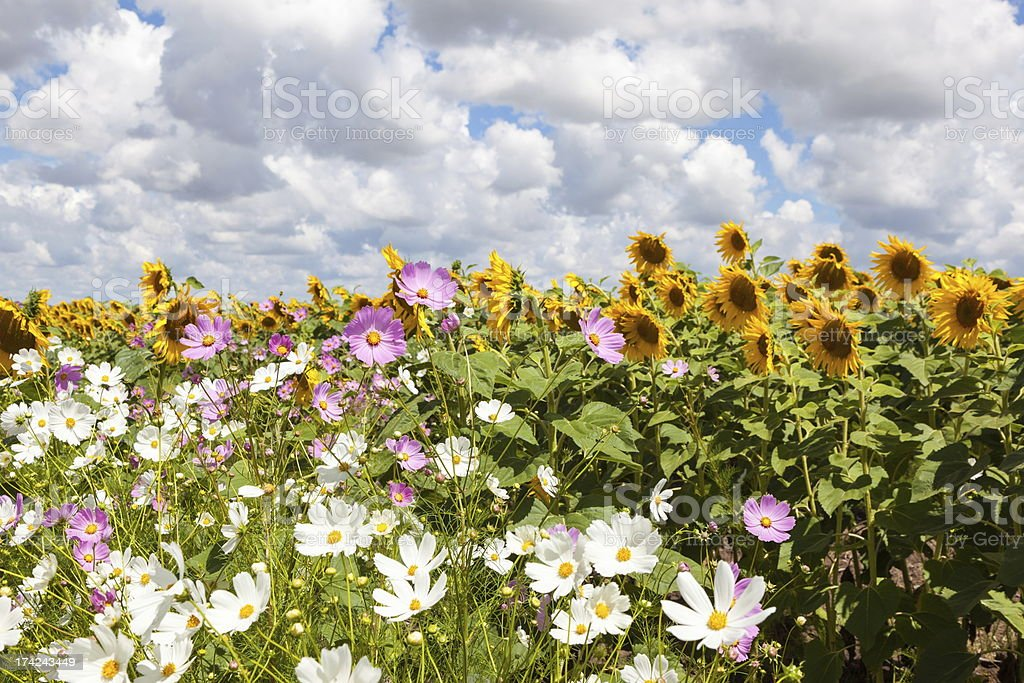 Cosmos and Sunflowers stock photo