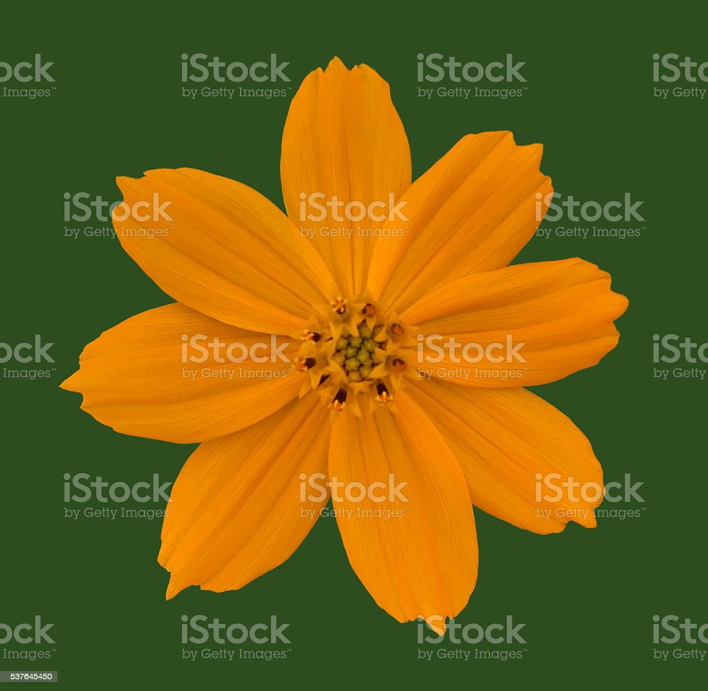 Cosmos bipinnatus against green stock photo