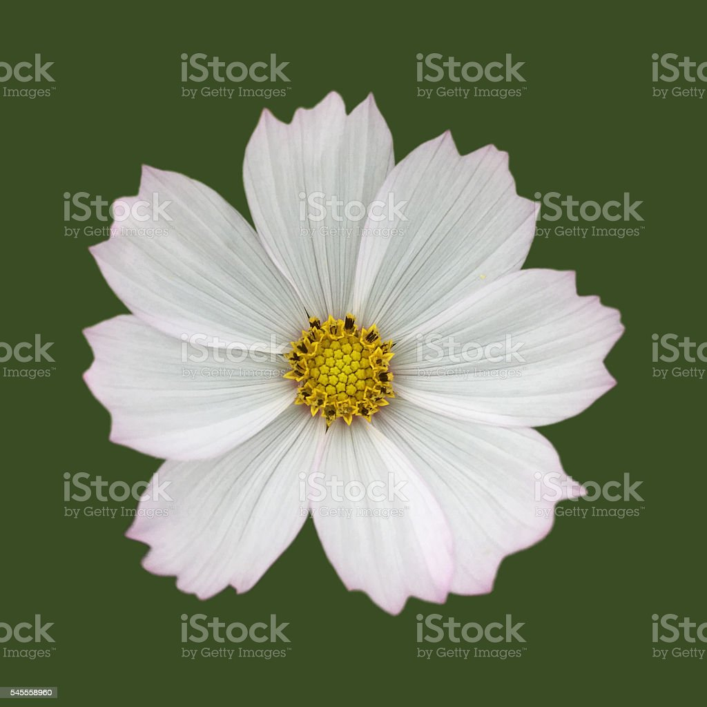 Cosmos bipinnatus flower against green stock photo