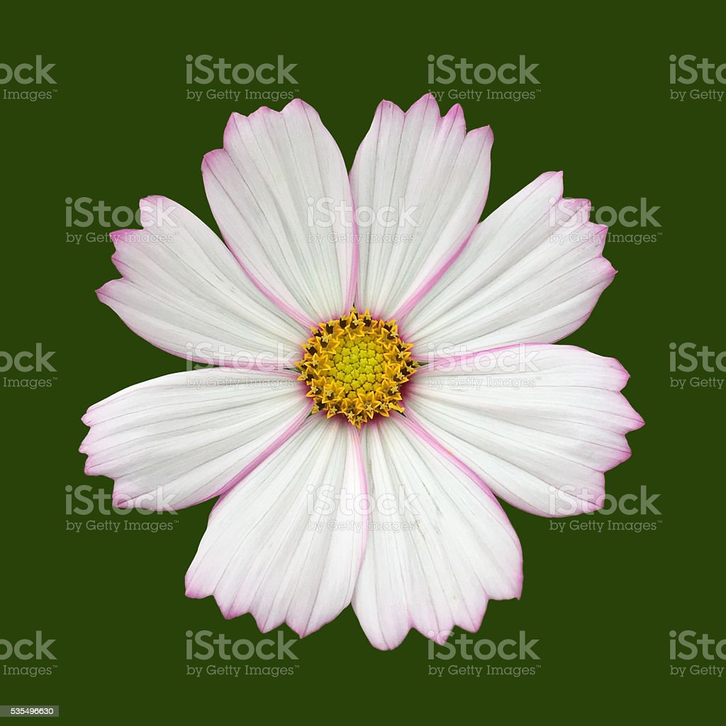Cosmos bipinnatus flower isolated green stock photo