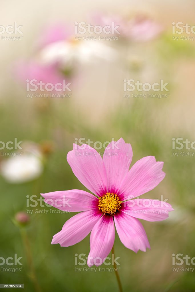Cosmos bipinnatus flowers stock photo