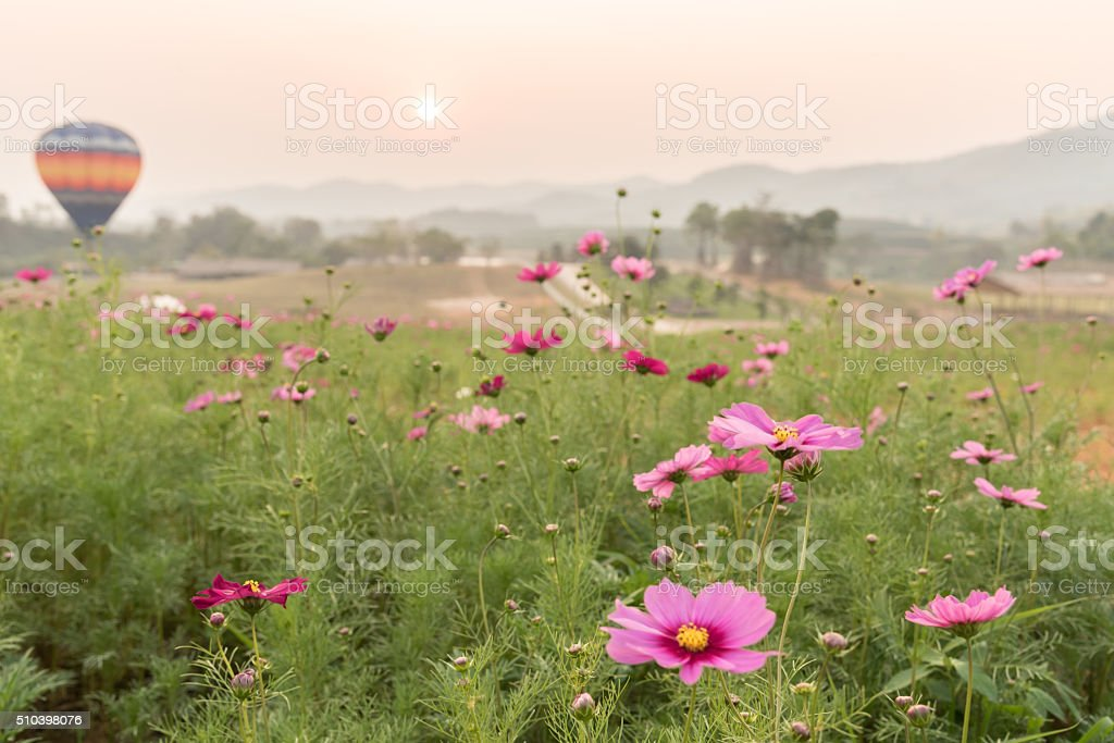 cosmos field at sunset with hot air balloon stock photo