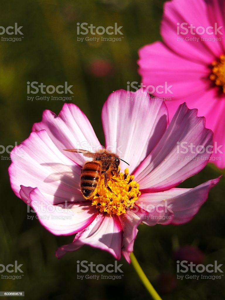 cosmos flower and honey bee stock photo