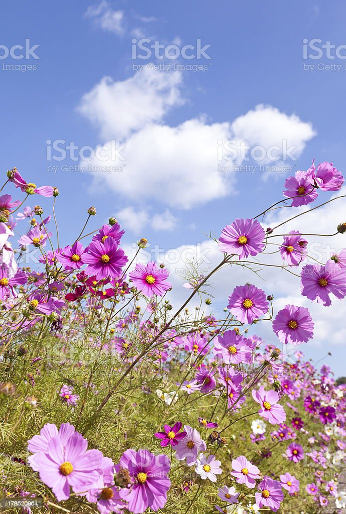 Cosmos flower and the sky royalty-free stock photo