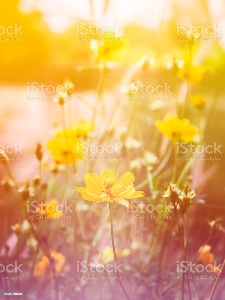 Cosmos flower bloom sweet colorful sunshine in garden stock photo
