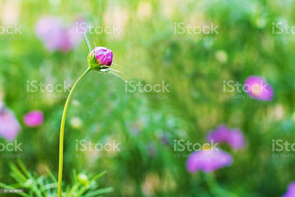 Cosmos flower bud in the garden stock photo