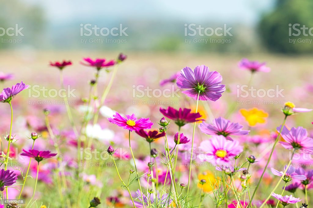 cosmos flower face to sunrise in field stock photo