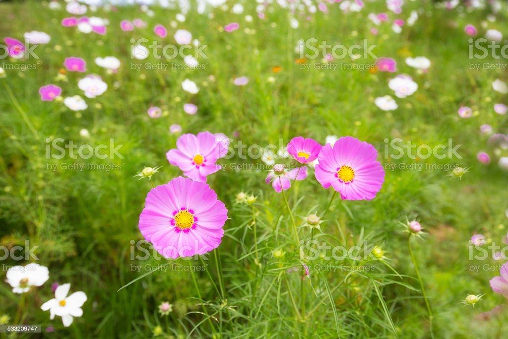 Cosmos flower field in DaLat city. royalty-free stock photo