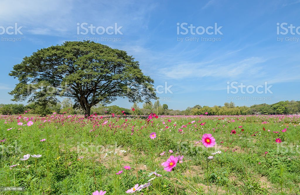 Cosmos flower field stock photo