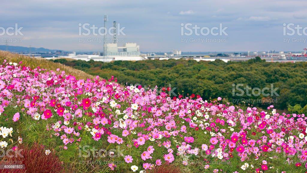 Cosmos Flower in Hitachi Seaside Park stock photo