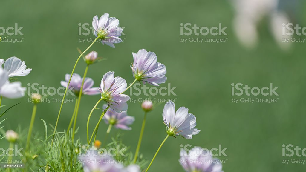 cosmos flower in nature stock photo