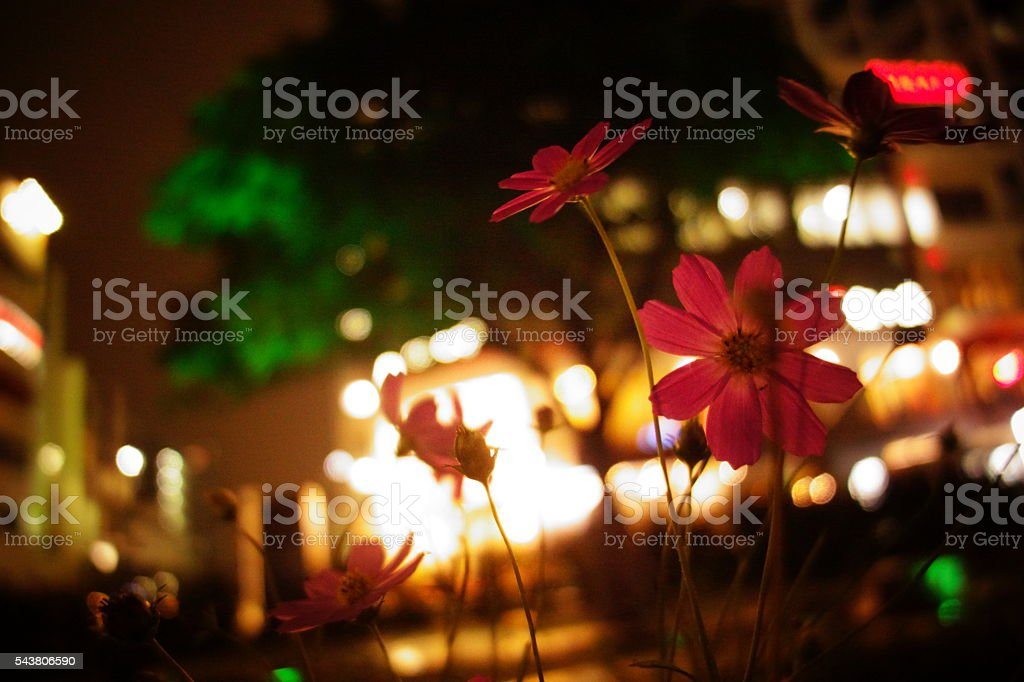Cosmos Flower in the City royalty-free stock photo
