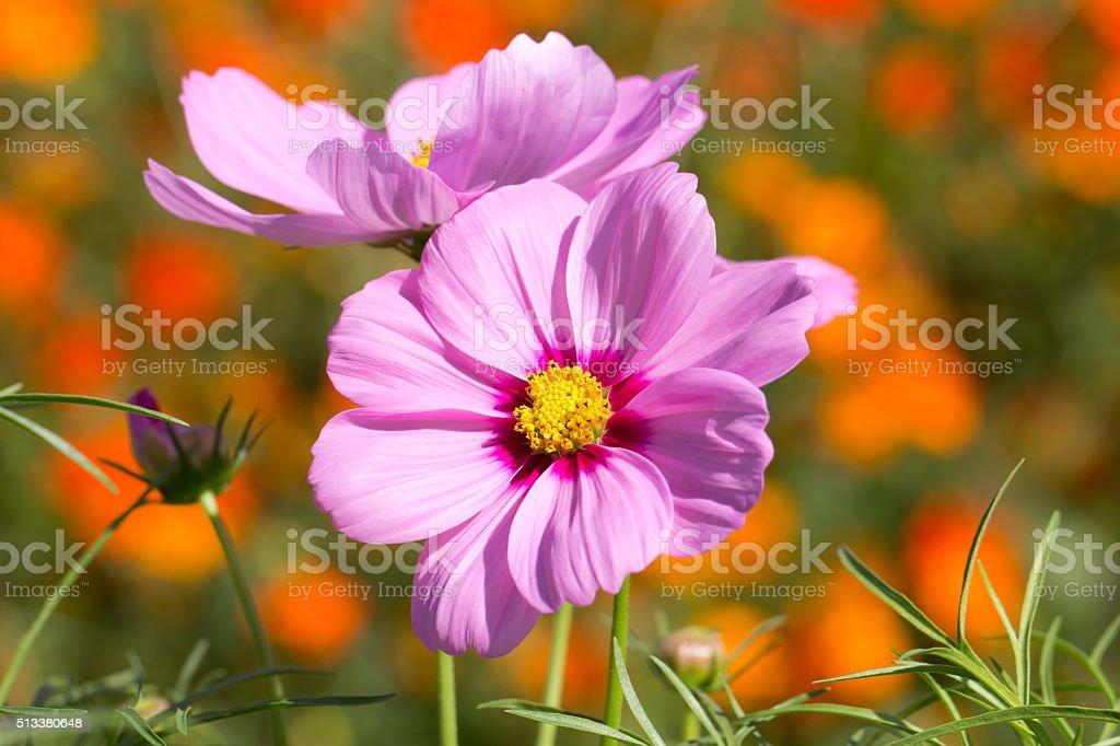 Cosmos flower in the garden stock photo