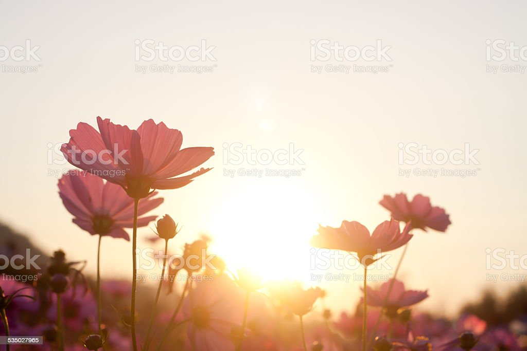 cosmos flower in the garden stock photo
