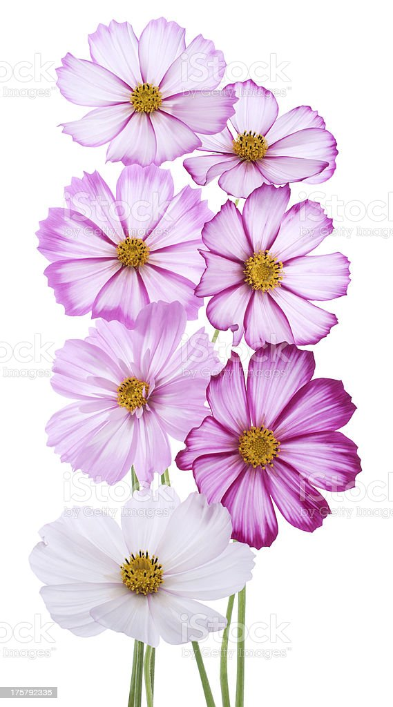cosmos flower royalty-free stock photo