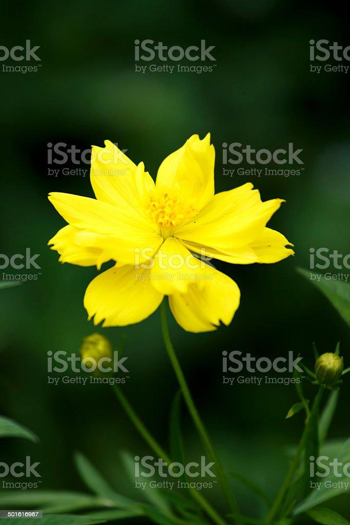 cosmos flower. royalty-free stock photo
