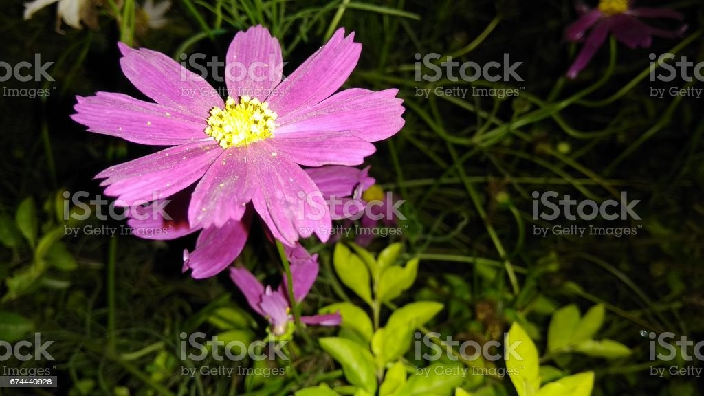 Cosmos Flower (purple) stock photo