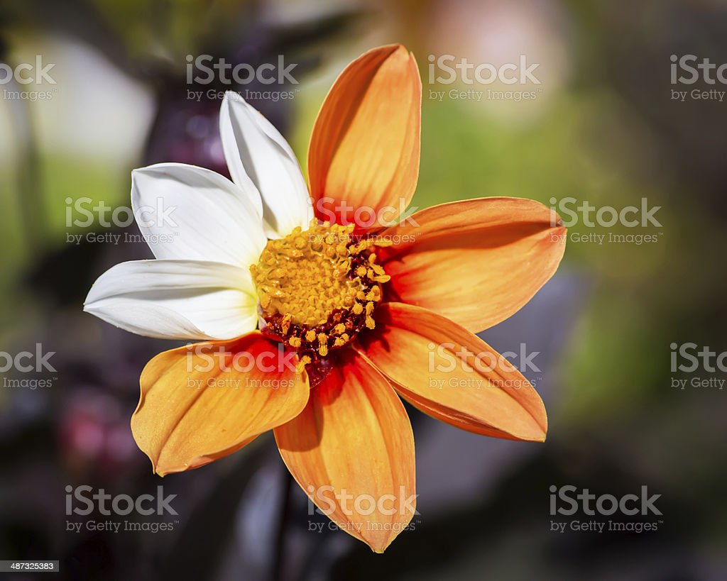 Cosmos Flower with mutation. stock photo