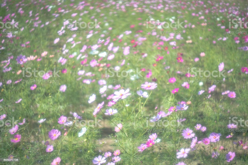 Cosmos flower with old lens ストックフォト