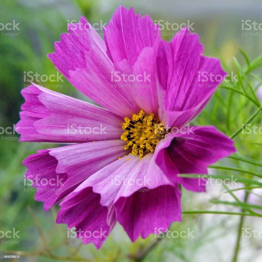 Cosmos flower (Cosmos Bipinnatus) with tubular petals stock photo
