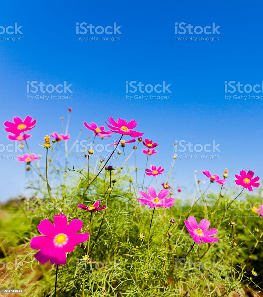 Cosmos Flowers against Clear Blue Sky stock photo