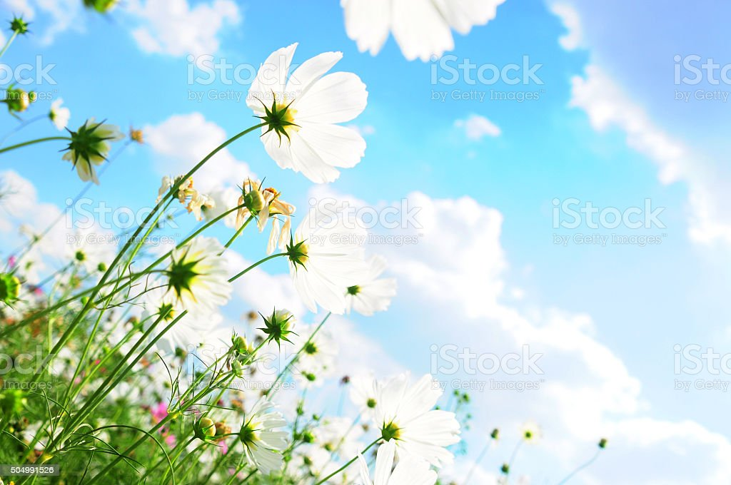 Cosmos flowers and the sky stock photo