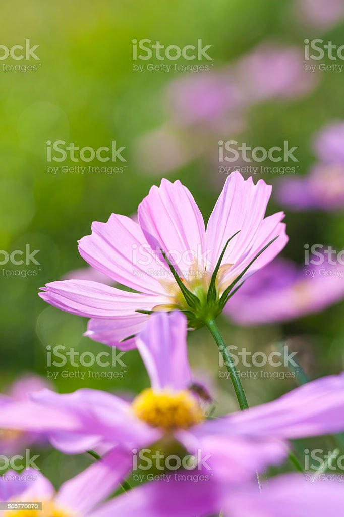 Cosmos flowers blooming in the garden. Beautiful floral. stock photo