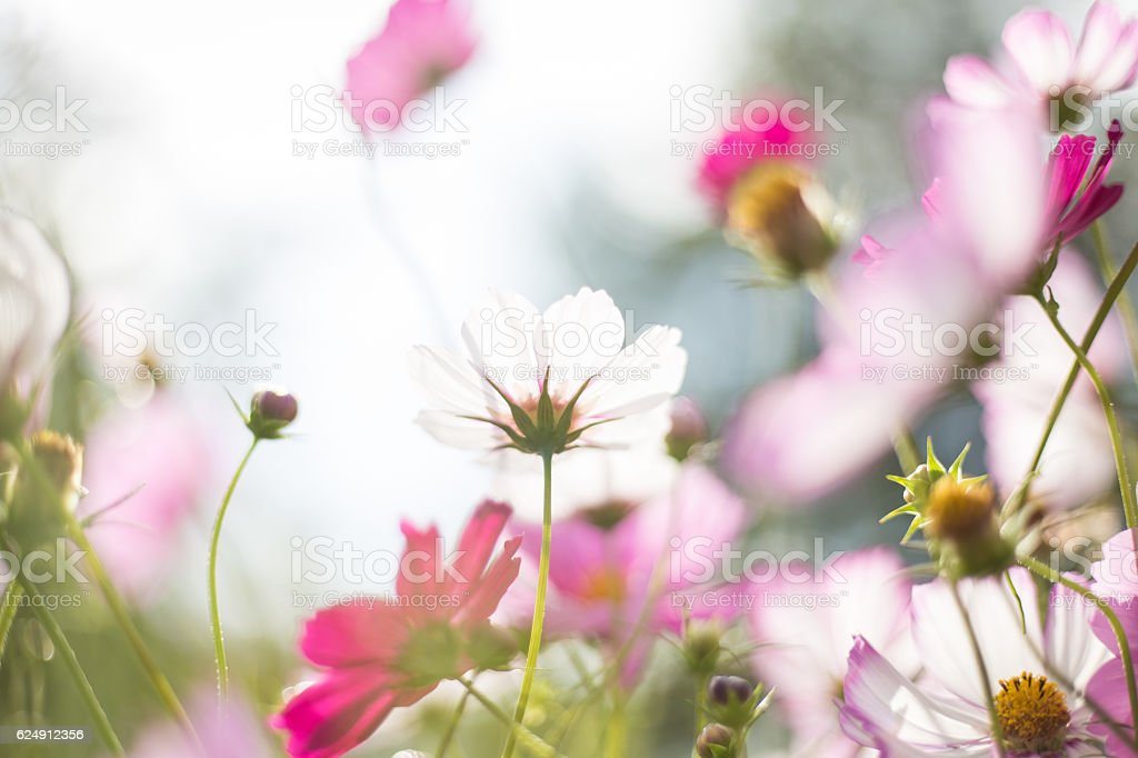 Cosmos flowers blooming in the garden stock photo