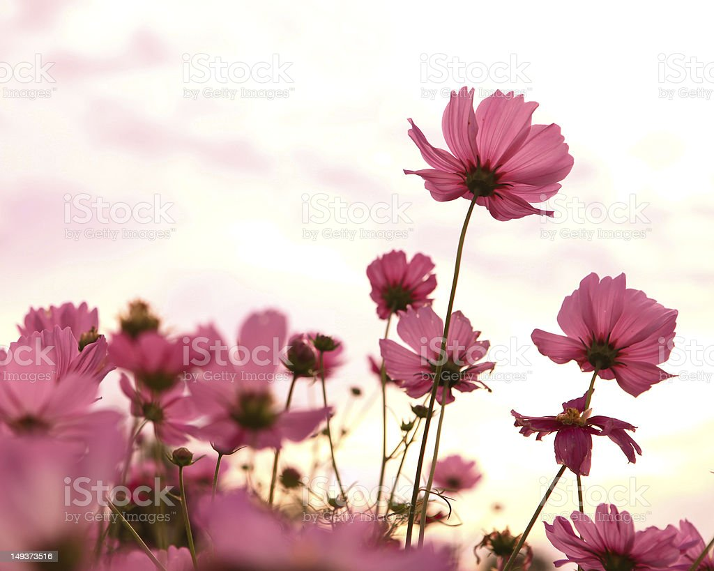 Cosmos flowers in blooming with sunset royalty-free stock photo