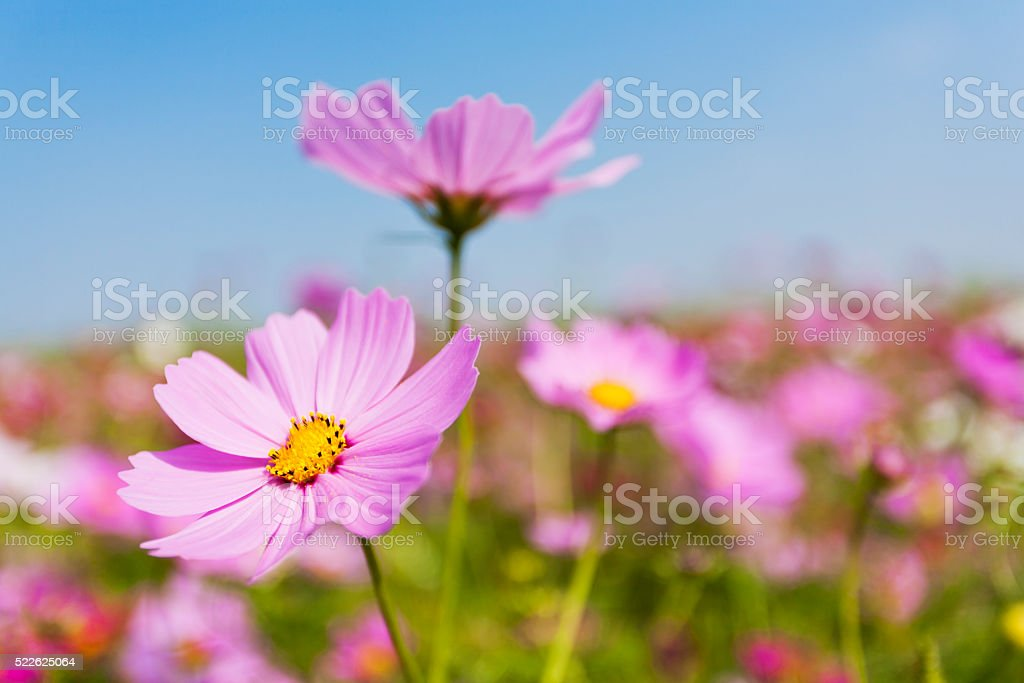 Cosmos Flowers in the Garden stock photo