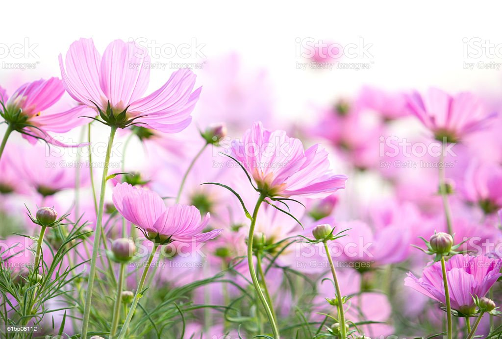 cosmos flowers isolated on white background stock photo