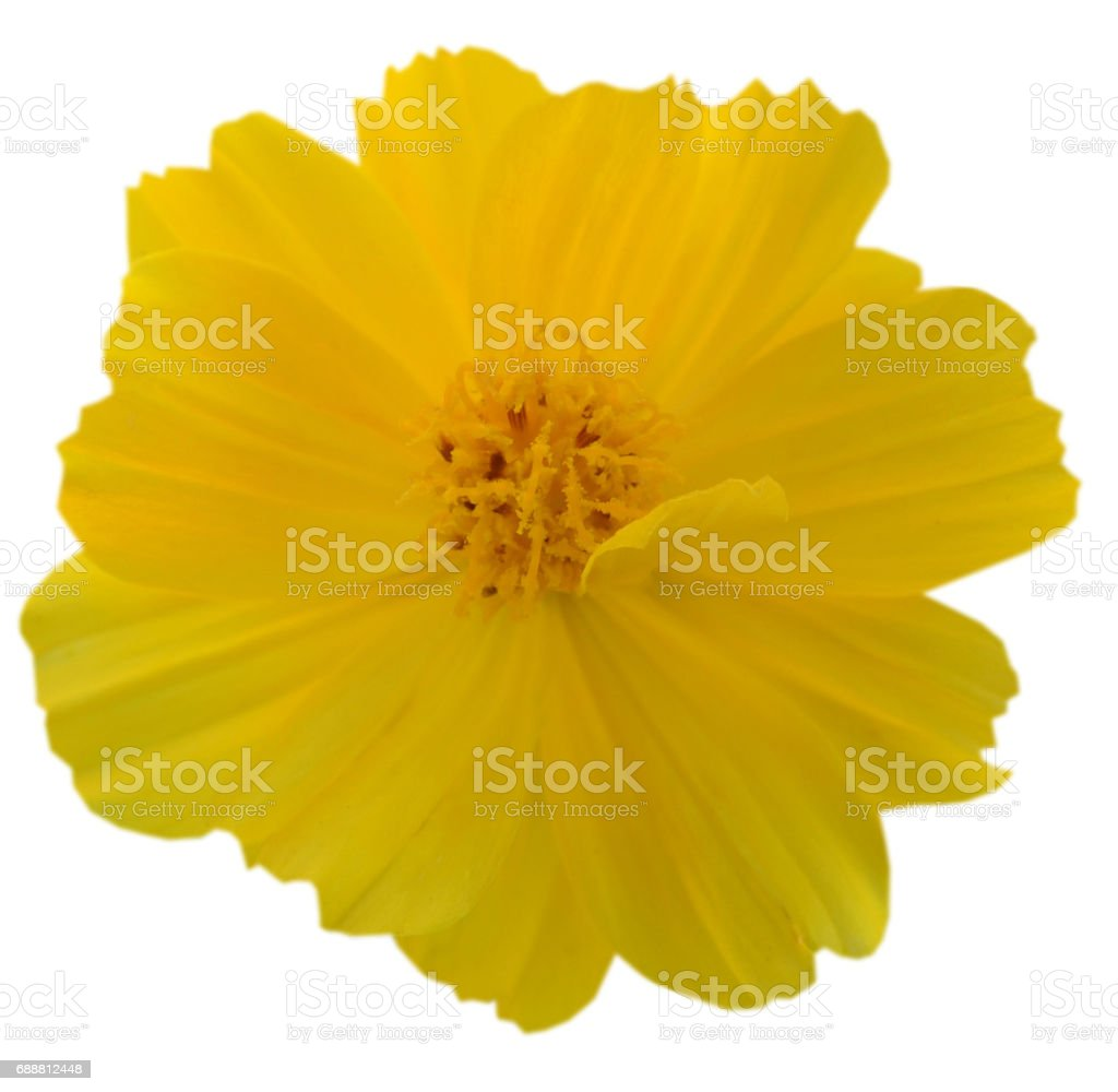 Cosmos Flowers isolated on White stock photo