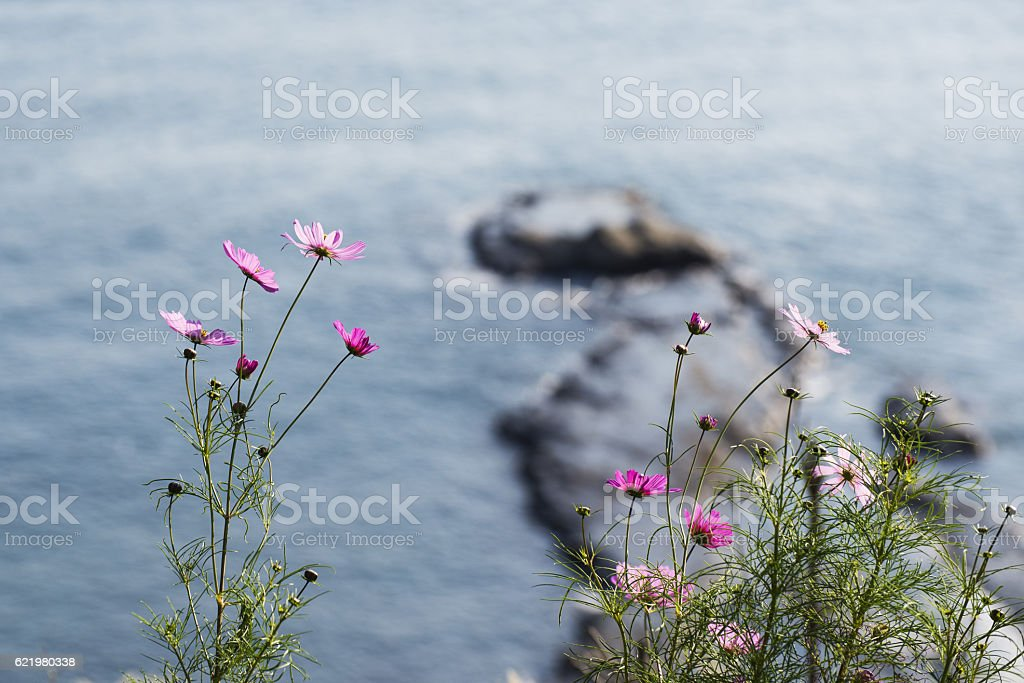 Cosmos flowers on the cliff stock photo
