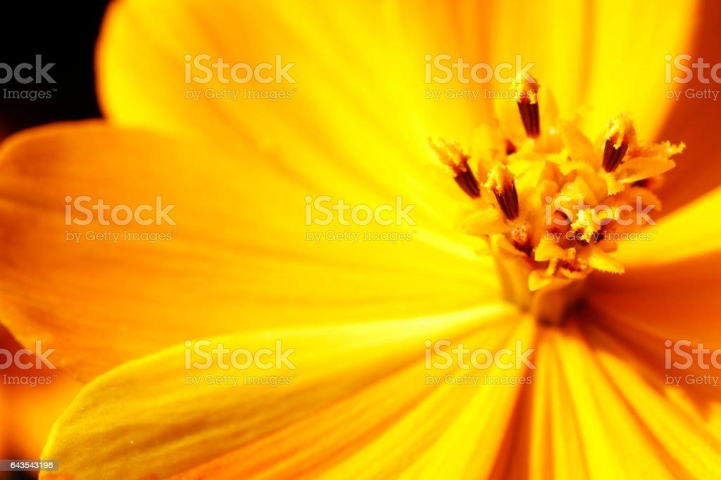Cosmos flowers petal Close-up stock photo