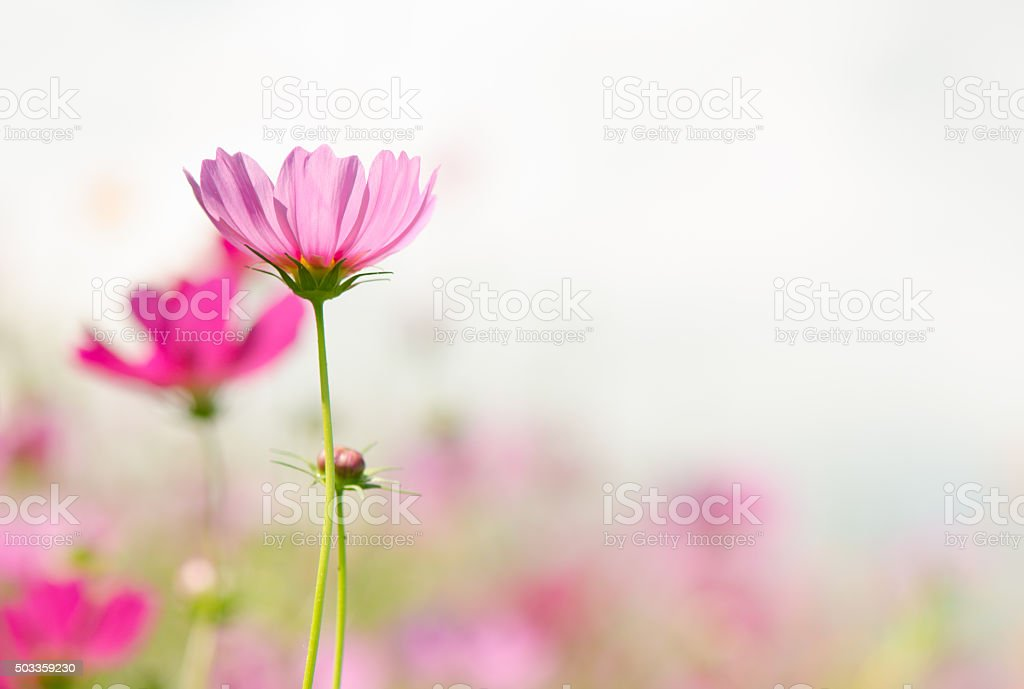 Close up of pink cosmos flowers in the garden, natural background.