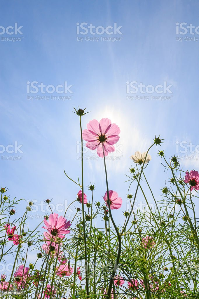 Cosmos flowers stock photo
