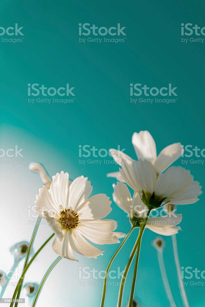 Cosmos flowers royalty-free stock photo