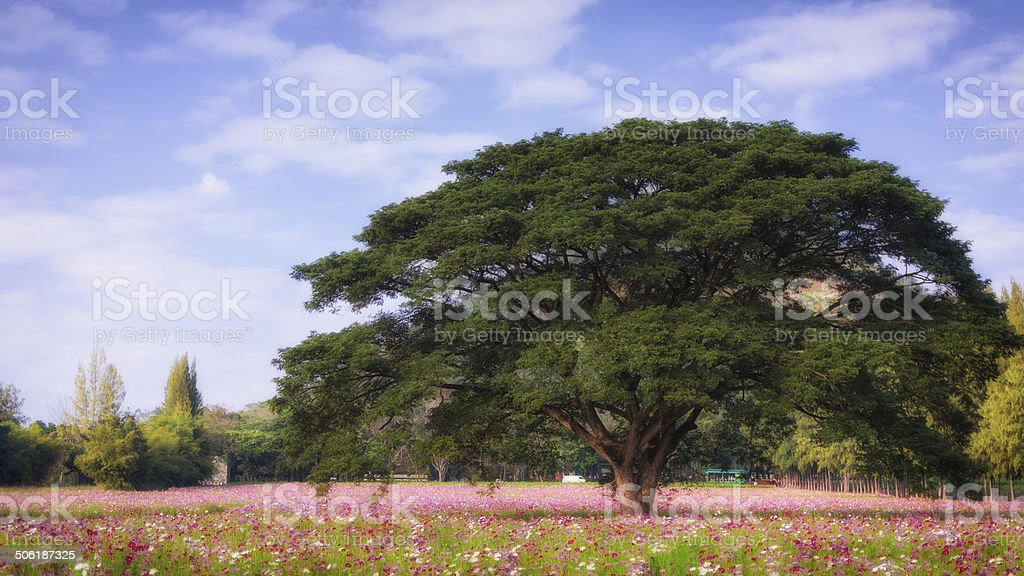 Cosmos flowers with blue sky stock photo