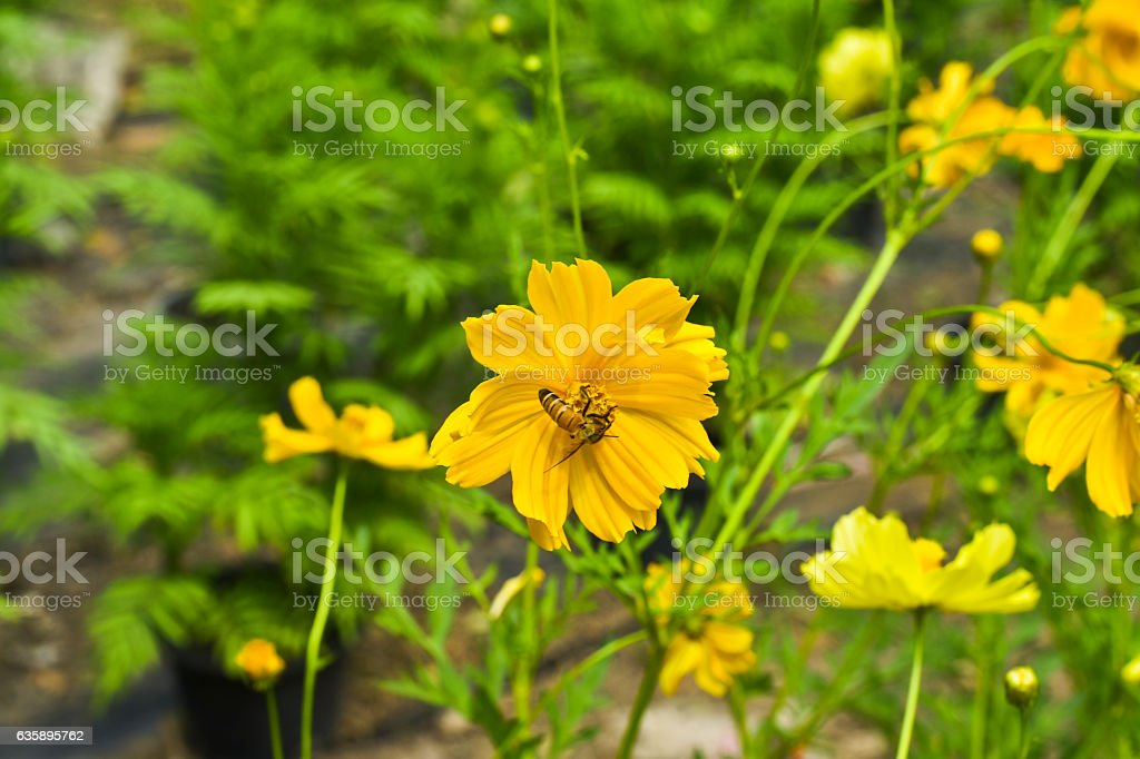 Cosmos Flowers, yellow cosmos flowers and bee in the garden stock photo